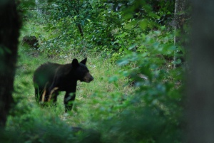 Black bear in Catawba, VA/Photo by Tom VanNortwick, flickr
